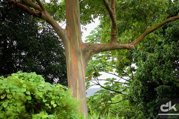 Regenbogen-Eucalyptus-Baum