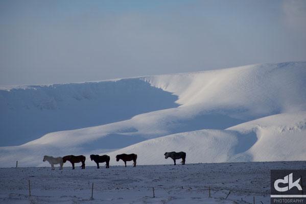 Islandpferde vor der sagenhaften Kulisse des Skjalfandi