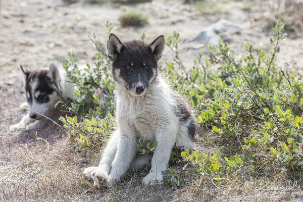 """Junge Huskys vor der Ortschaft """"Ilulissat"""" am Icefjord Ilulissat in der Diskobucht in Südwest-Grönland"""