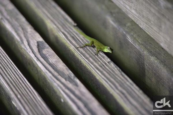 """Ein Eidechschen im """"El Yunque"""" Regenwald"""