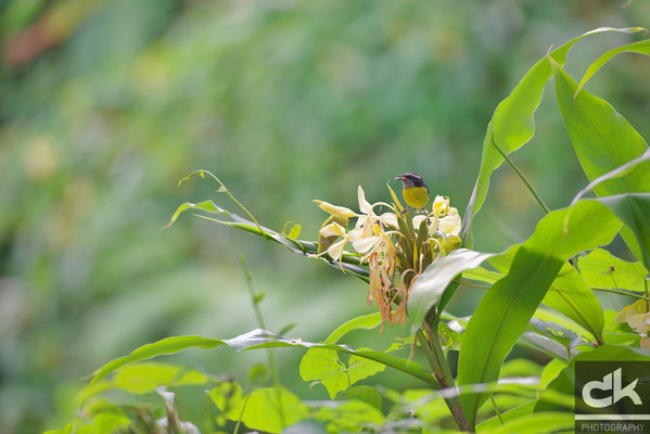 """Ein erstes Vögelchen im """"El Yunque"""" Regenwald entdeckt"""