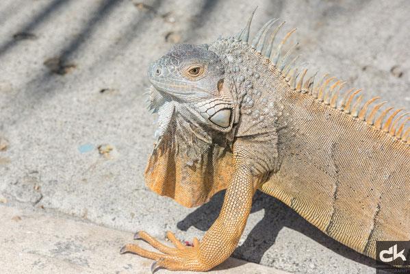 Leguan auf Grand Cayman