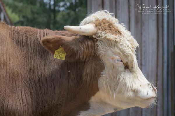 Die Kuh Snorre