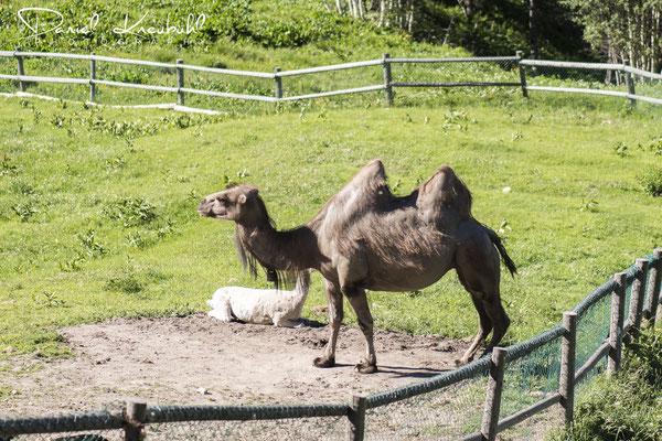 Kamel beim Waldhüs Bodmen