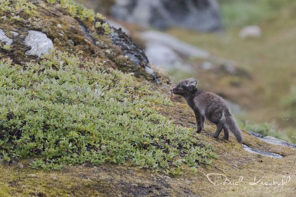 """Neugieriger junger Polarfuchs vor der Ortschaft """"Ilulissat"""" am Icefjord Ilulissat in der Diskobucht in Südwest-Grönland"""
