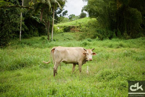 Kuh mit Begleitung