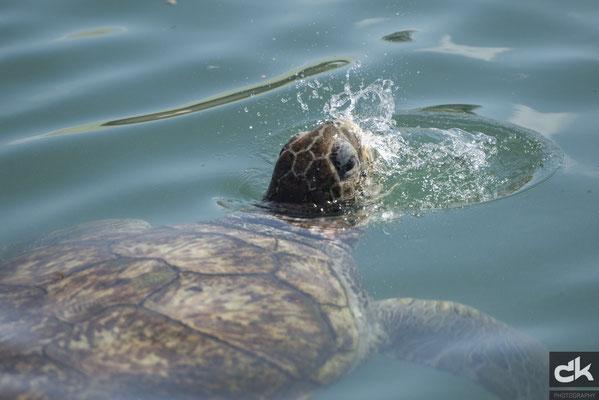 Meeresschildkröte auf Grand Cayman