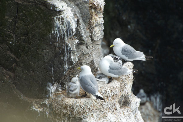 Eissturmvogel - Juli 2012, Westfjorde, Island