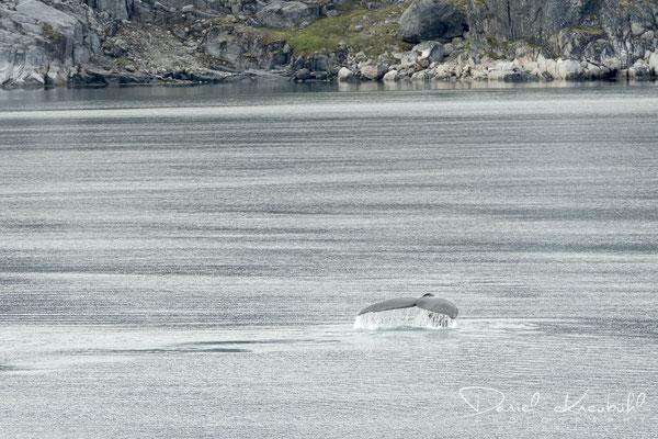 Buckelwale in der Diskobucht auf dem Weg nach Ilulissat in Südwest-Grönland