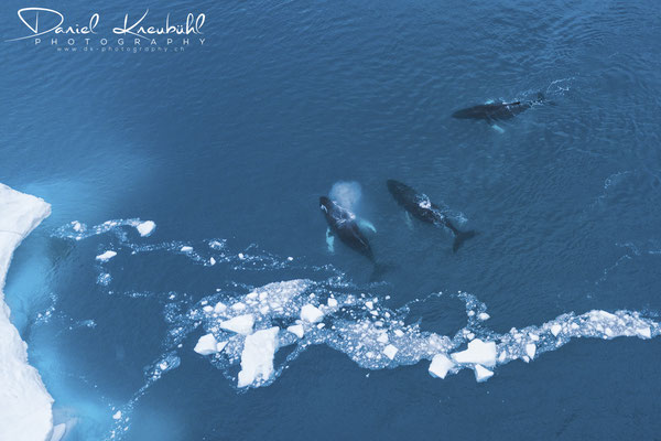 Buckelwale im Icefjord Ilulissat in der Diskobucht in Südwest-Grönland