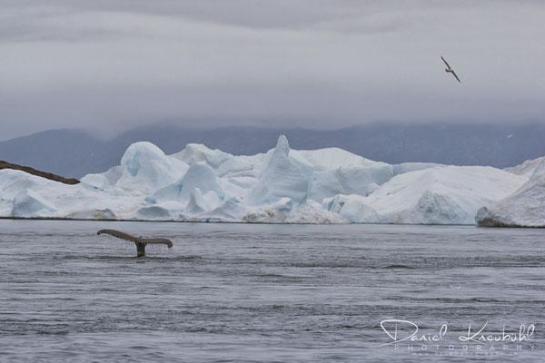 Buckelwal im Icefjord Ilulissat