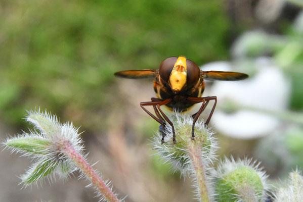 Hornissenschwebfliege (Volucella zonaria), sieht gefährlich aus, brummt laut, ist aber dennoch eine Fliege.