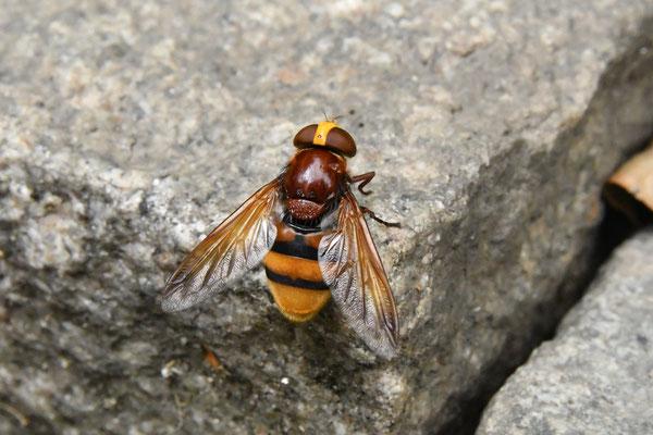 Hornissenschwebfliege (Volucella zonaria) deren Wespenmusterung (Mimikry) vor Fressfeinden schützt