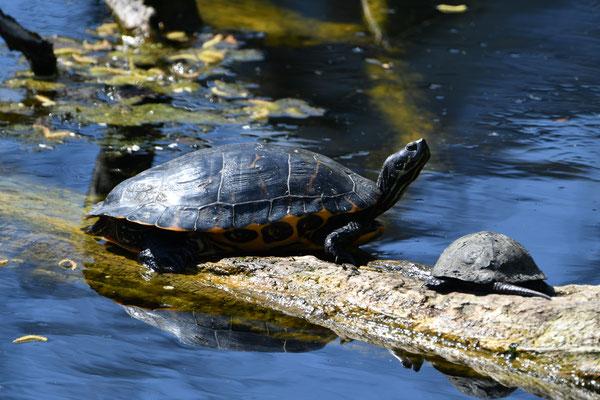 Buchstaben-Schmuckschildkröte (Trachemys scripta, großes Tier) und eine Höckerschildkrötenart, beide vermutlich ausgesetzt und nicht heimisch.