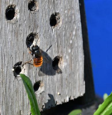 Gehörnte Mauerbiene (Osmia cornuta, Weibchen) an Insektenhotel
