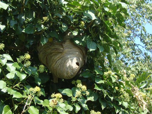 Behausung der Sächsischen Wespe (Dolichovespula saxonica) in blühemdem Efeu: Nicht aggresiv und gehen nicht an den Kuchen, Fleisch etc.