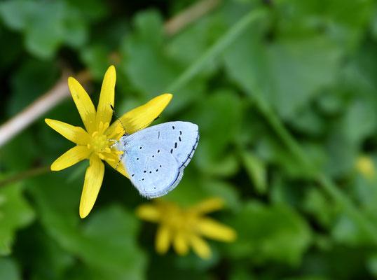 Faulbaum Bläuling (Celastrina argiolus)