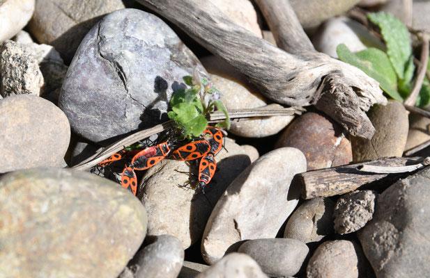 Feuerwanzen (Pyrrhocoris apterus)