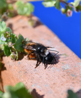 """Gehörnte Mauerbiene bei der Paarung. Männchen mit weißem """"Bart""""."""