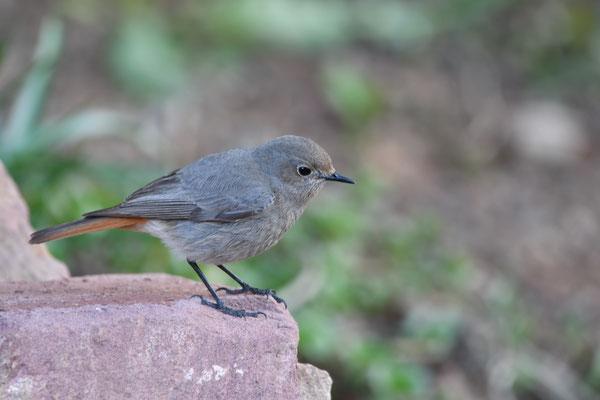 Hausrotschwanz Weibchen (Phoenicurus ochruros)