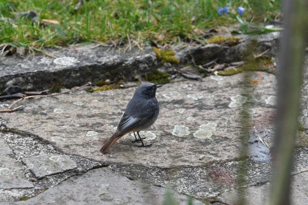Hausrotschwanz Männchen (Phoenicurus ochruros)