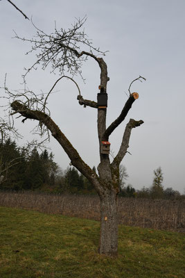 Totholzrefugium aus abgestorbenem Apfelbaum für Spechte, Fledermäuse, Insekten, Eulen etc.