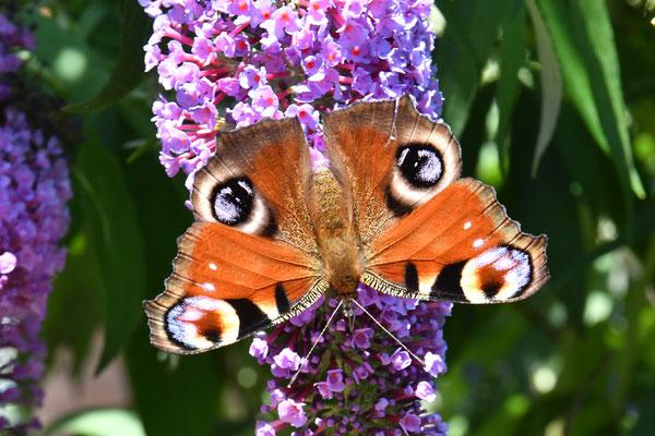 Tagpfauenauge (Aglais io) am Schmetterlingsflieder
