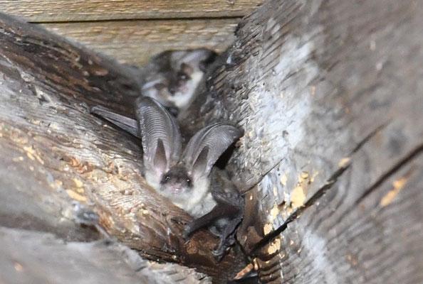 Graue Langohren (Plecotus austriacus) verstecken sich gerne im Gebälk der Kirchenschiffe
