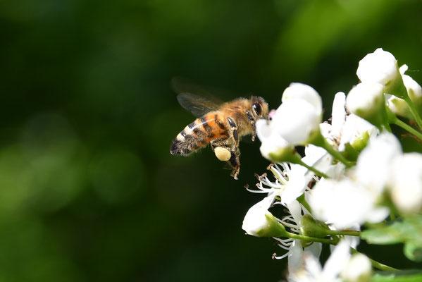 Pollen sammelnde Biene an einem Weißdorn