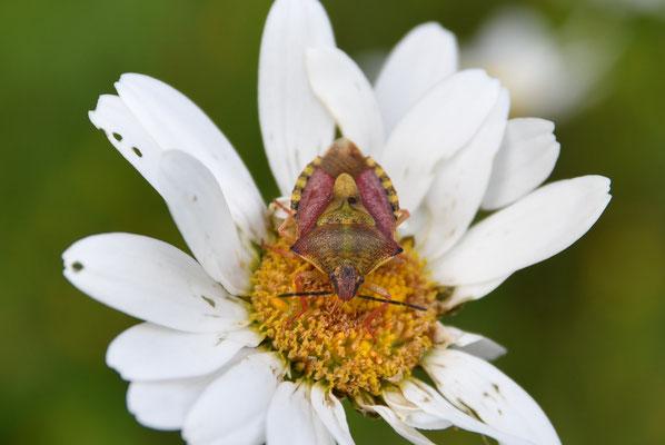 Fleckige Brutwanze (Elasmucha grisea)