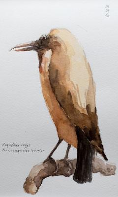 KAPUZINERVOGEL (Perissocephalus tricolor), 2016