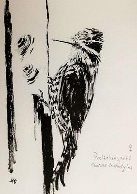DREIZEHENSPECHT (Picoides tridactylus), 2015