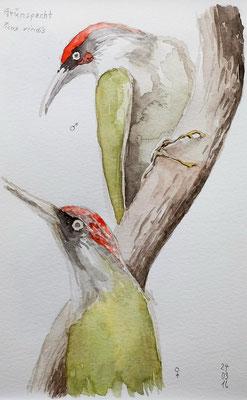 GRÜNSPECHT (Picus viridis), 2016
