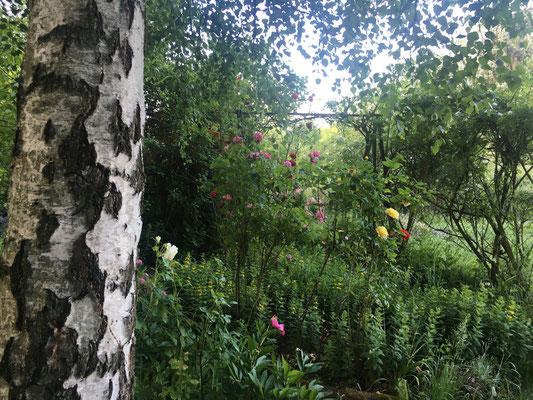 Eine Birke vor einem lauschigen Platz in den frühen Morgenstunden (Dagmar Schülke)