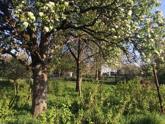 Birnbaum in der Blüte (Dagmar Schülke)