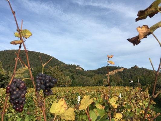 Reife Trauben verkünden den nahen Herbst (Dagmar Schülke)