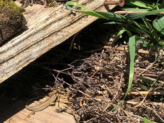 Versteck für die Zauneidechse (privat)
