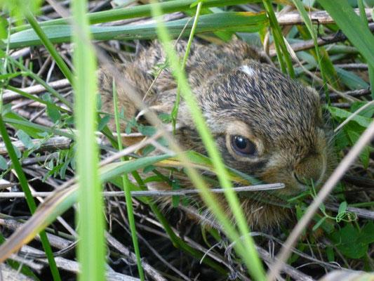 Ein Feldhase versteckt sich im Gras (Foto: privat)