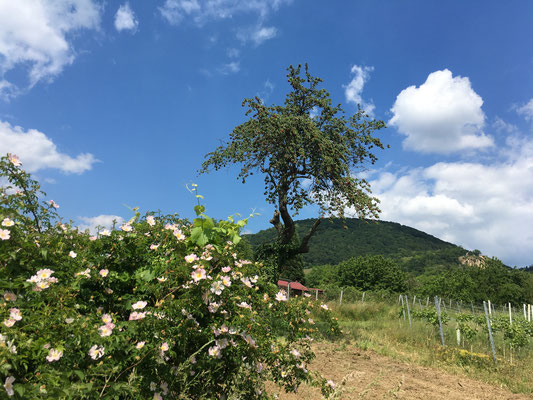 Eine üppig blühende Heckenrose im Frühsommer (Dagmar Schülke)