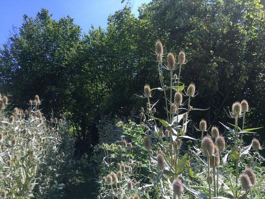 Karden: stachelige Schönheit  Am Rebgarten (Dagmar Schülke)