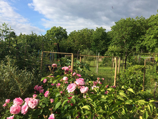 Üppig blühende Rose Am Rebgarten (Dagmar Schülke)