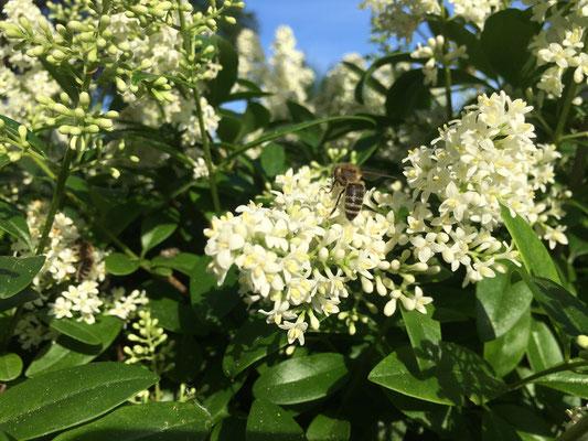 Liguster dient als Bienenweide (Dagmar Schülke)