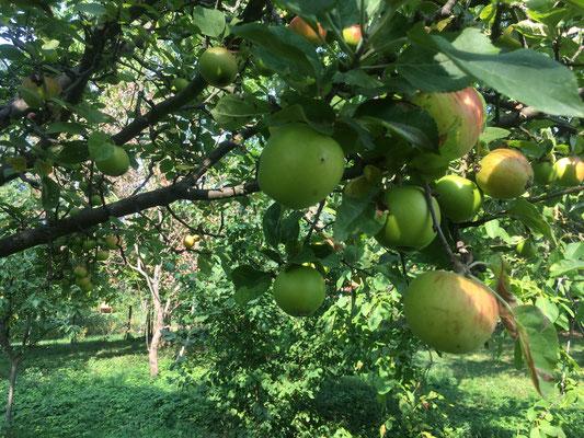 Üppige Apfelernte (Dagmar Schülke)