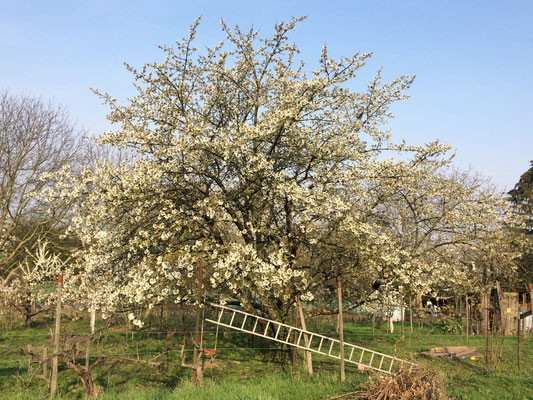 Kirschbaum im Garten eines unserer Mitglieder (Dagmar Schülke)
