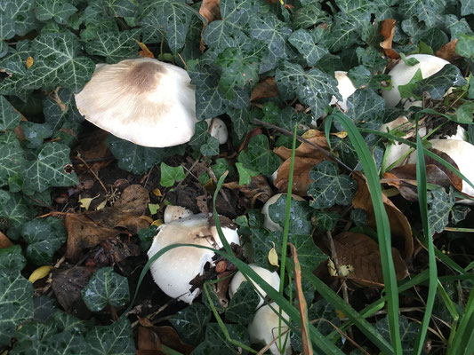 Pilze unterm Efeu (Dagmar Schülke)