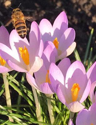 Krokusse künden den Frühling (Andrea Schlechter)