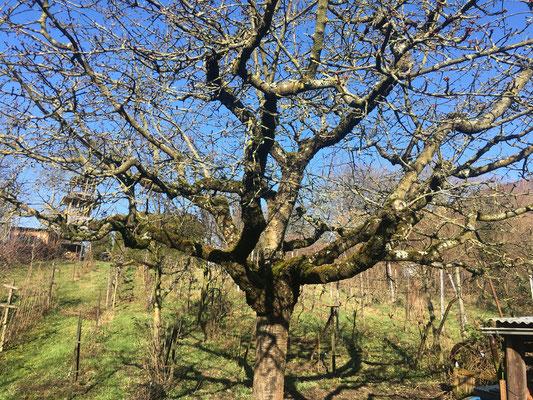 Kirschbaum im Winter (Dagmar Schülke)