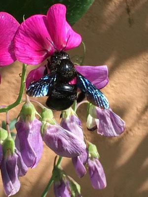 Blaue Holzbiene an einer Edelwicke (Dagmar Schülke)