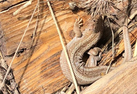 Reptilien in Dossenheim (privat)