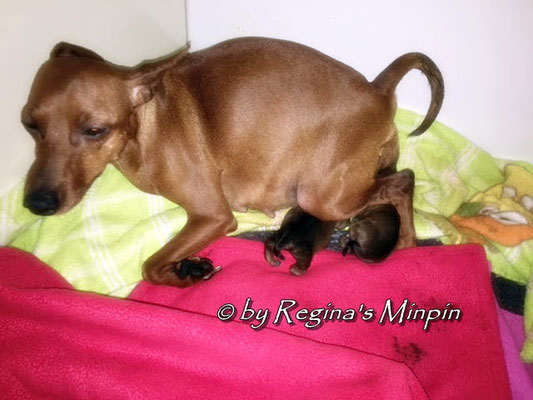 Die Geburt ist in vollem Gange und gerade kommt Welpe Nr. 3 zur Welt.
